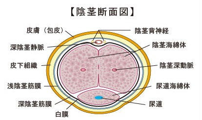 ペニスの構造図