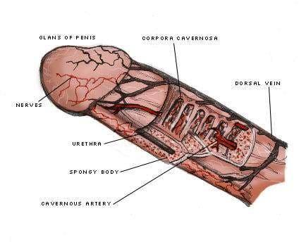 ペニスの構造